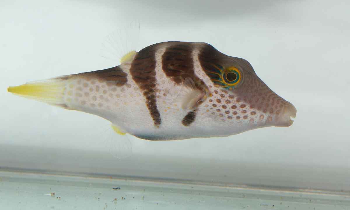 Pufferfish don 39 t hold their breaths to stay puffed for How much is a puffer fish