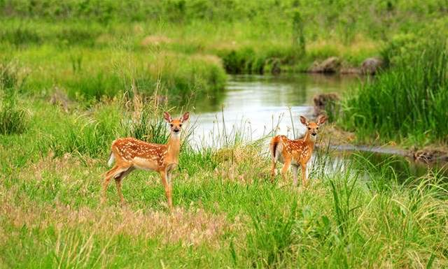 Malaria Found In US White-Tailed Deer
