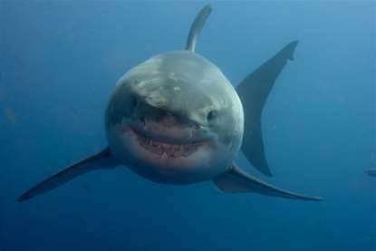 Video: Great White Sharks Chomp On An Underwater Robot