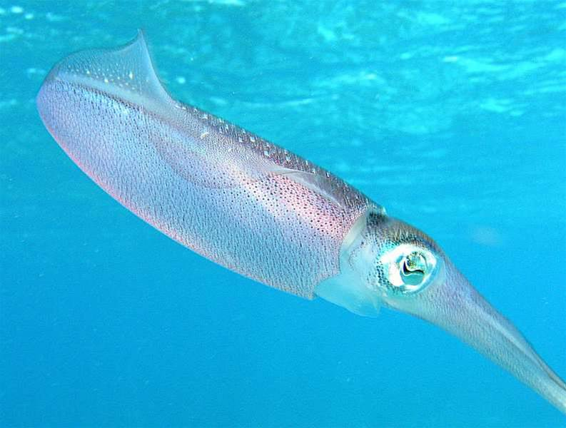 Squid-Inspired Tape Could Help Camouflage Soldiers
