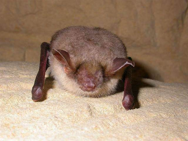 Hibernation Doesn't Affect Memory, At Least For Bats