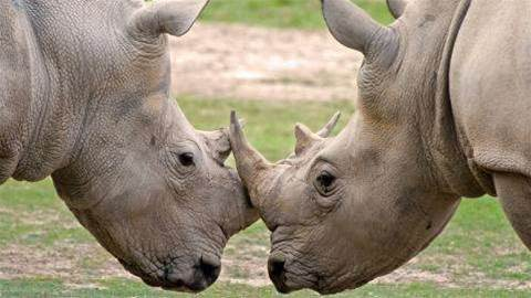 3D-printed rhino horns aim to end poaching