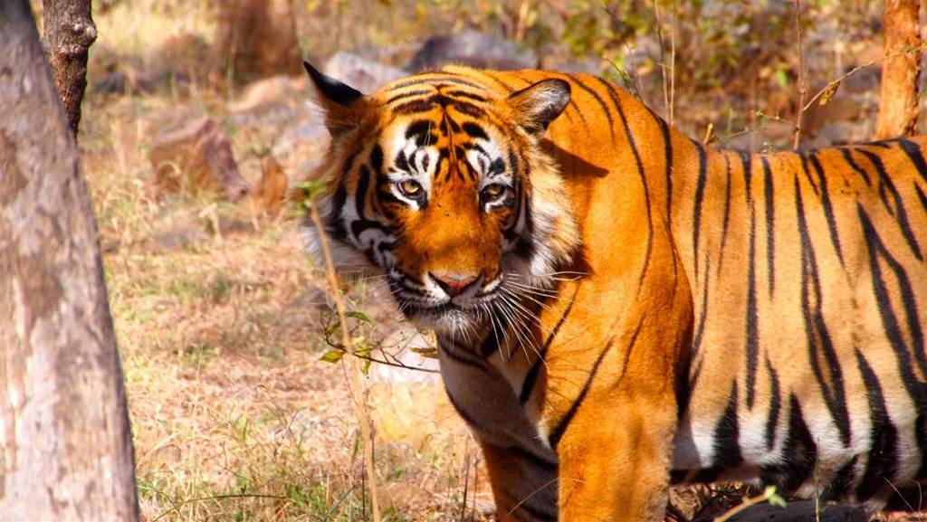 Indian National Park Setting Up Radar Network To Protect Tigers -- And Humans