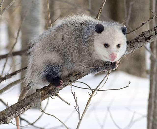 Opossum Peptides Are A Promising New Antivenom