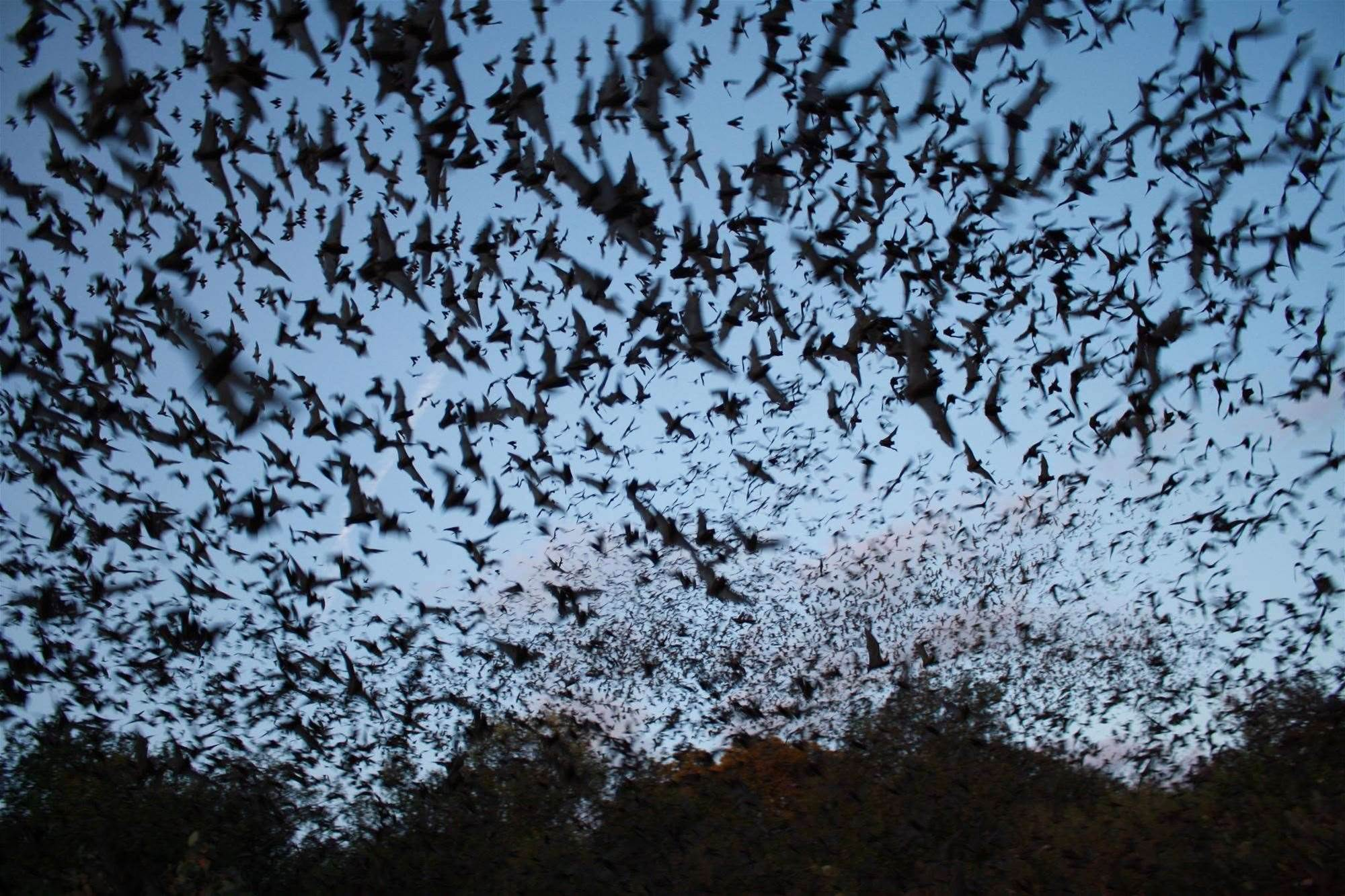 Probiotic Appears To Help Bats Fight Deadly White-Nose Syndrome