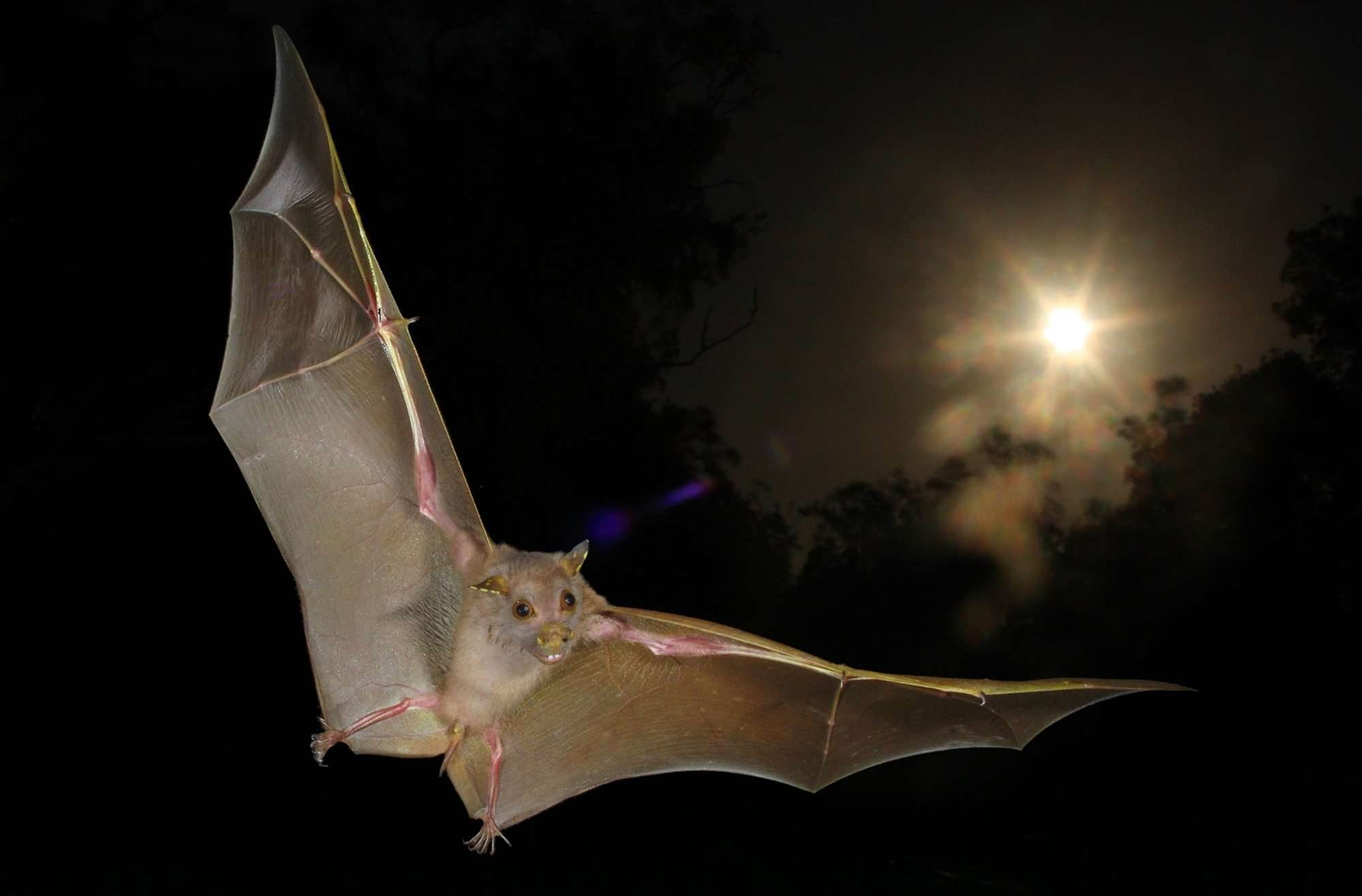Fruit Bats Have Sonar, Too