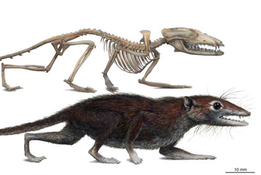 Jurassic Mammal Fossil Hints At Earlier Split Between Placental Mammals and Marsupials
