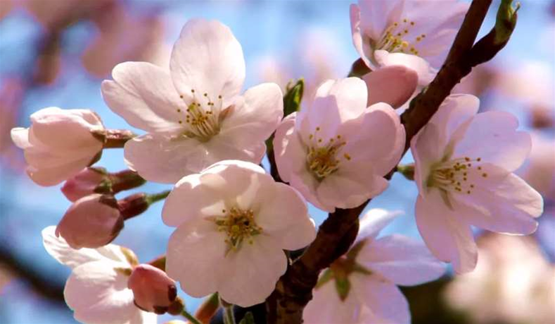 Cherry Trees That Flew To Space Bloom Six Years Early