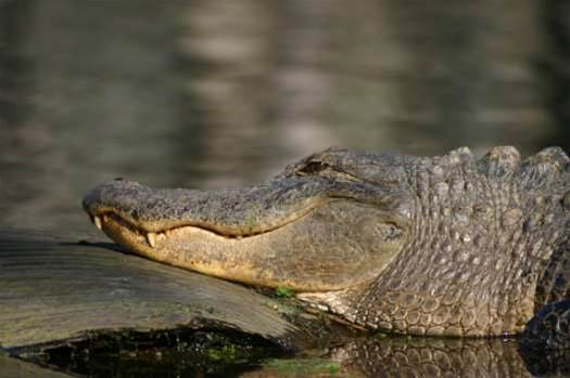 Alligator Fat Could Fill Your Gas Tank and Fuel Renewable Resource Investment in the South