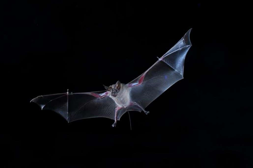 Bats Listen For Others' Snacking Sounds to Help Them Find Food