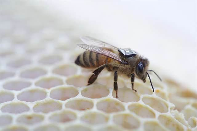 CSIRO e-tags bees for colony collapse research