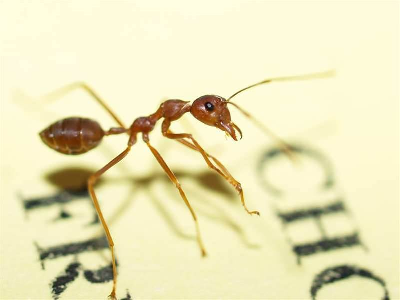 Ants build cheapest networks