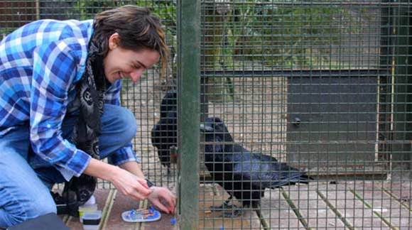 Crows can play waiting game to get your tasty treats, study finds
