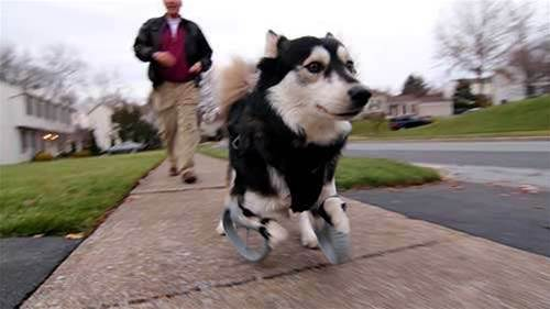 How 3D Printing Made The Perfect Prosthetic Legs For Derby The Dog