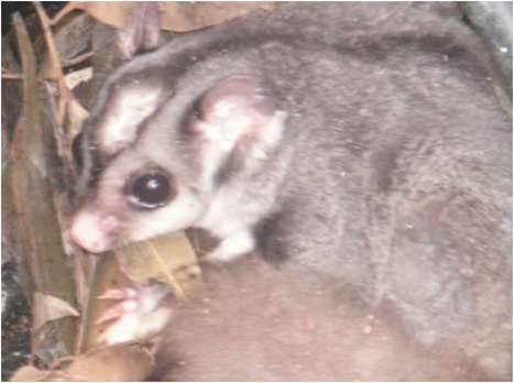 Possum family found in Telstra pit