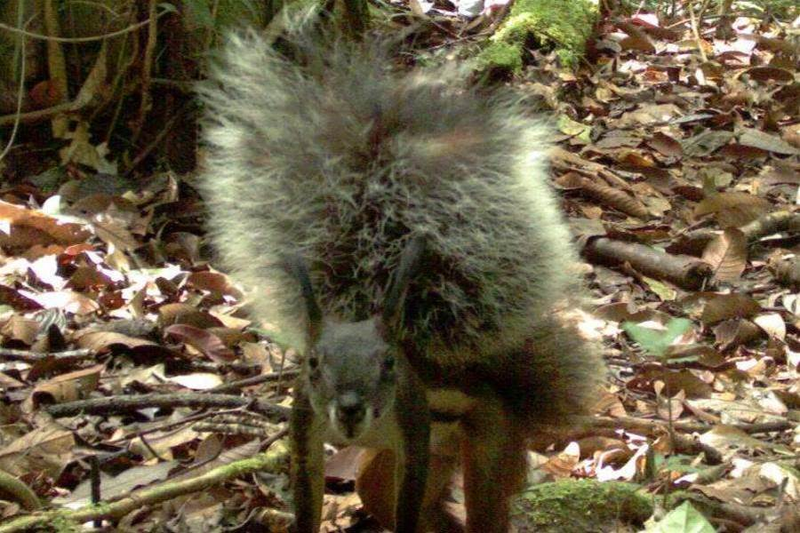 This Squirrel Breaks Record For Tail Size... And May Eat Deer's Hearts
