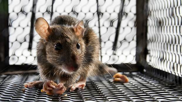 Human umbilical blood makes old mice build nests again.