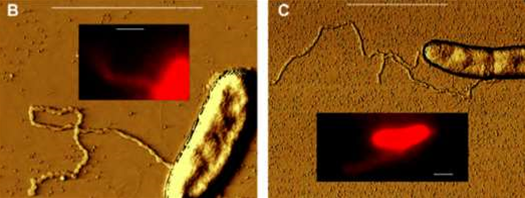 This Bacterium Shoots Out Wires From Its Body To Power Itself