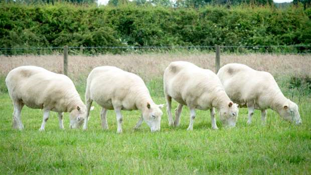 Clones of Dolly the sheep are aging just fine