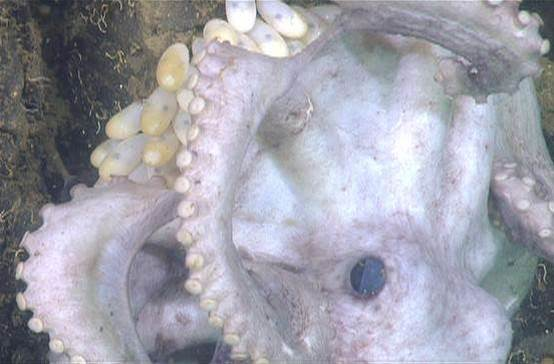 Octopus Broods Its Eggs For 4.5 Years, Longest For Any Animal