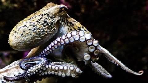 Octopus genetics study reveals actual alien results