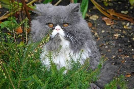 Iran Plans To Send Persian Cat Into Space
