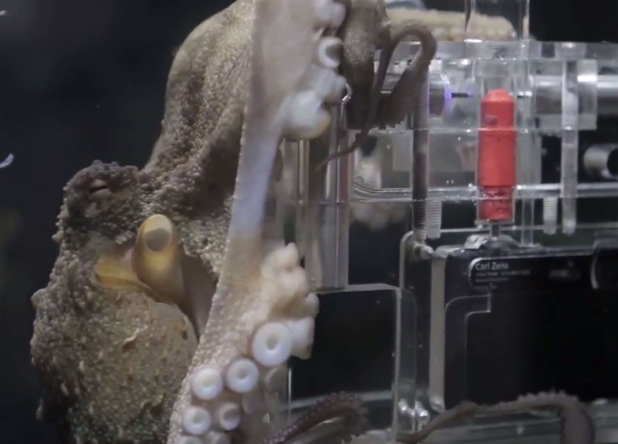 Watch An Adorable Octopus Photographer In Action