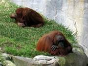 Tinder for Orangutans: Teaching apes to swipe right
