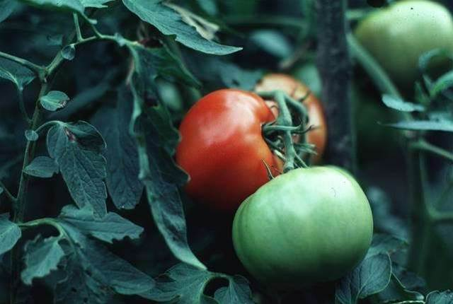 Tomato Plants' Chemical Signal Turned Into Pest-Killing Weapon