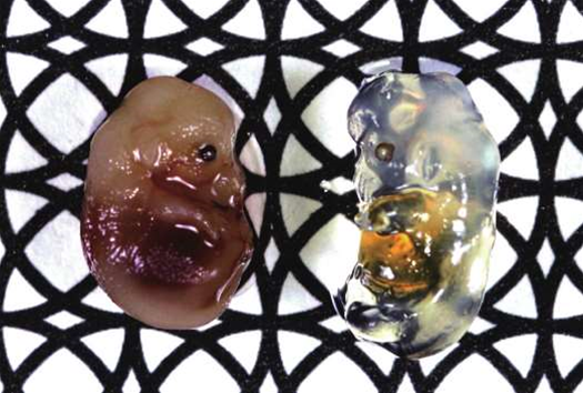 Japanese Researchers Develop a Way to Turn Biological Tissue Transparent