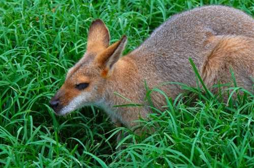 Adobe bowls Wallaby at iPhone Flash ban