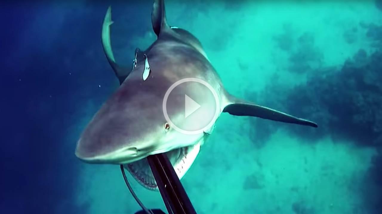 Close Call! Bullshark Attacks Spearfisherman