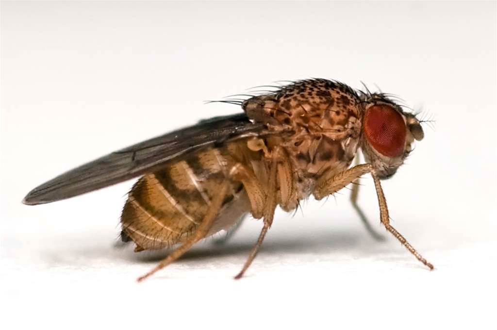 Fruit fly brains for wireless deployments