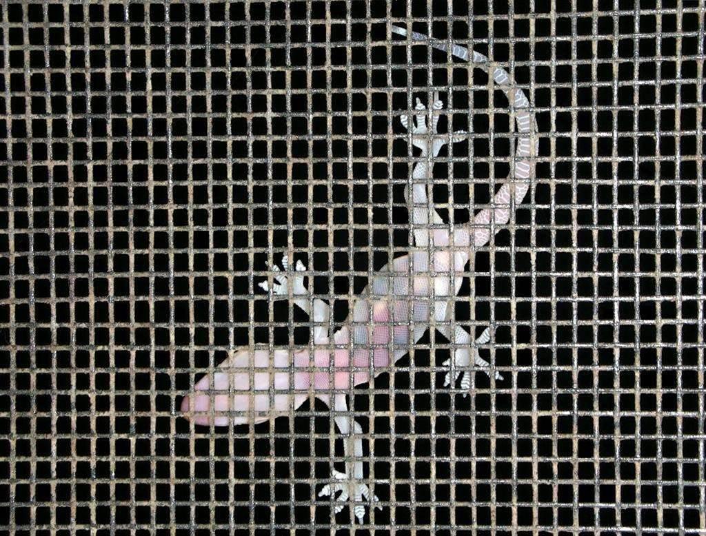 Engineers build climbing robotic gecko