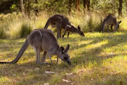 RFID tags track harvested kangaroos