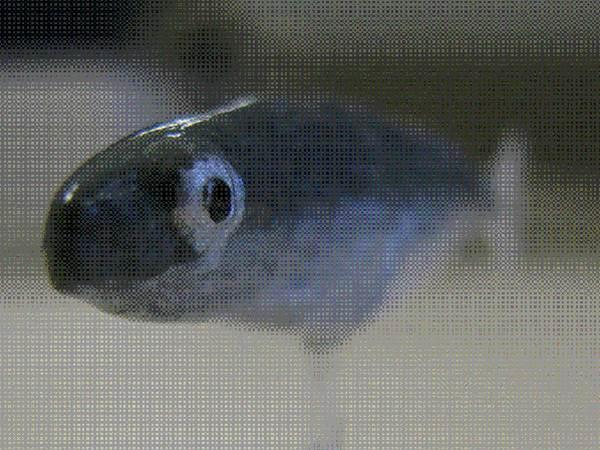 Robotic fish school the rest