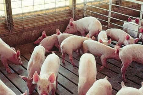 Curtin Uni pushes VPN to mitigate Swine Flu risk