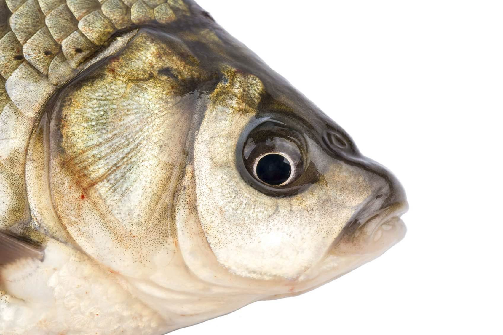Why conservationists are using facial recognition on fish