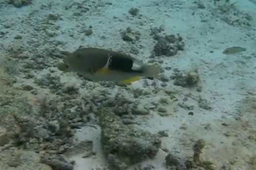 Video: Plucky Fish Swims Far Away to Find Proper Tool For Eating Dinner