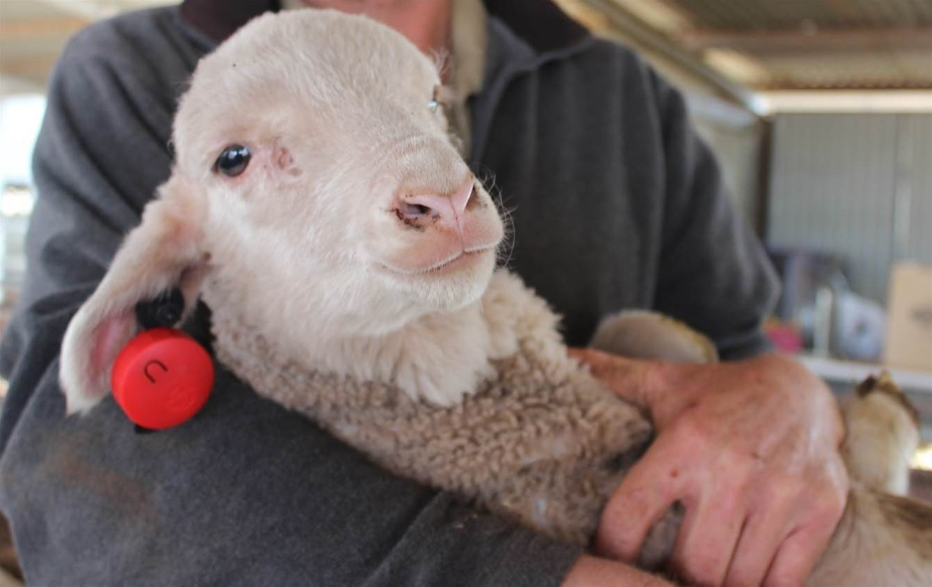 IoT helping to establish pedigree of lambs
