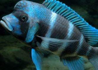 Cichlid Forums hacked, 60,000 accounts stolen