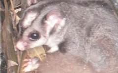 Possum family found in Telstra pit