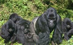 Comment: Gorillas in your midst