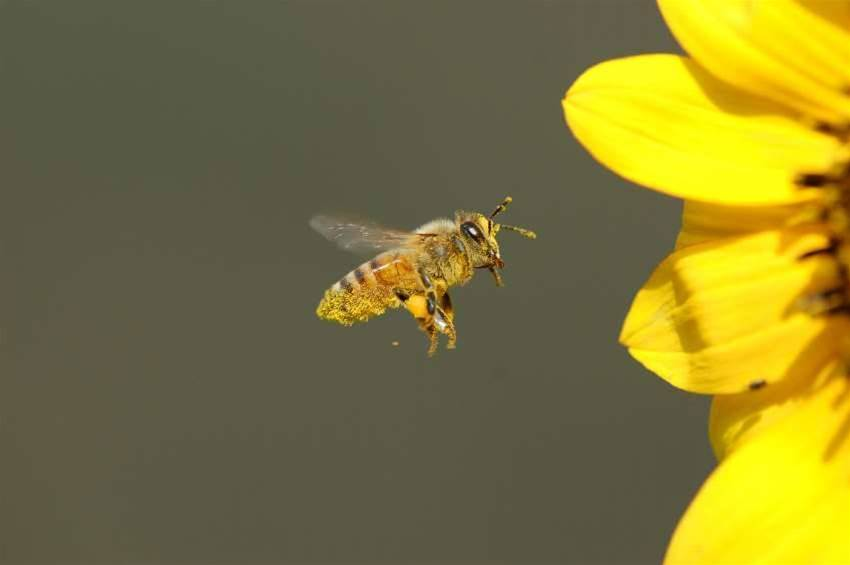 CSIRO, Intel call on Edison to save bees