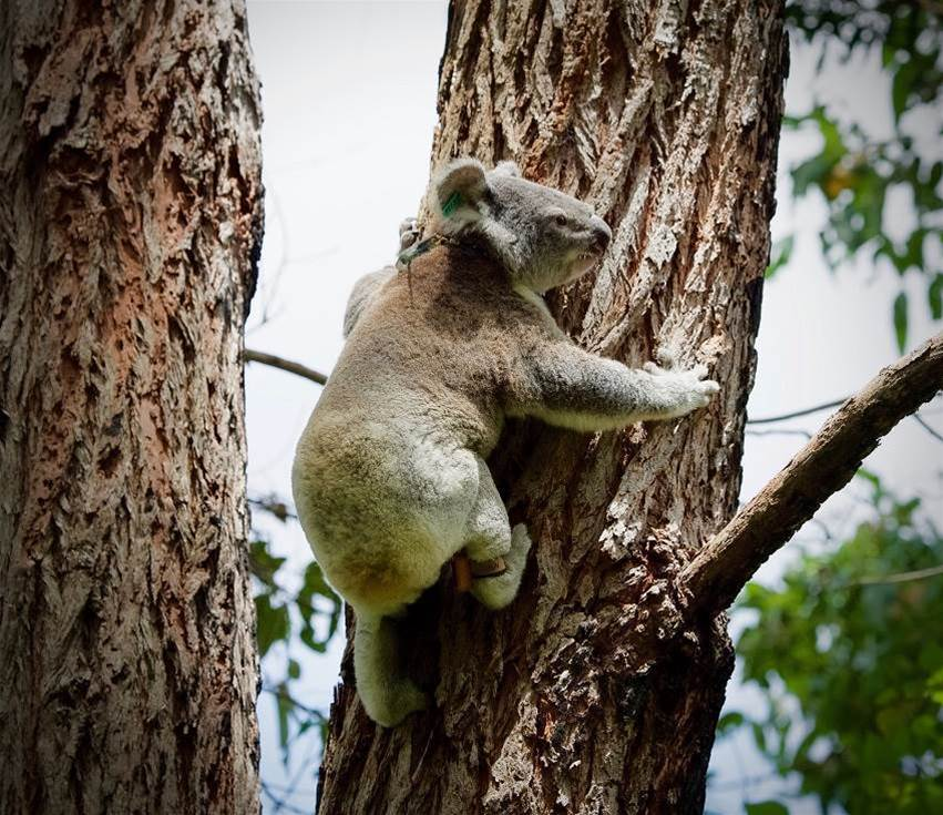 Keeping track of koalas with IoT