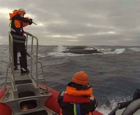 Scientists track whales, without killing them