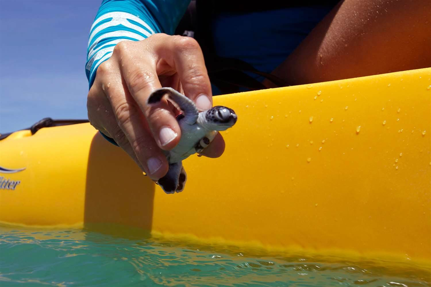 Scientists track green turtle hatchlings with IoT