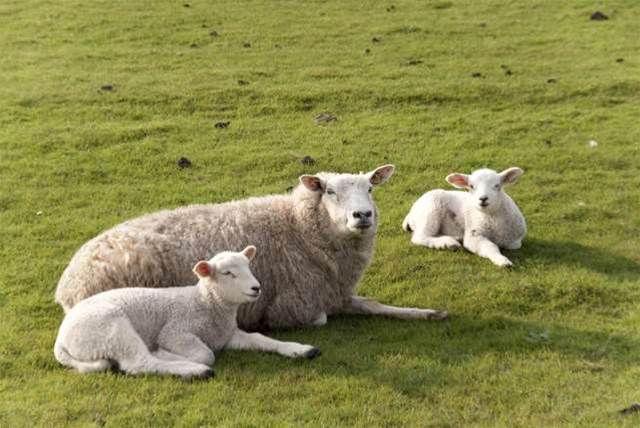 Government funds sheep analytics trial