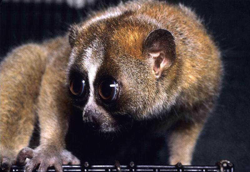 Venomous Slow Loris May Have Evolved To Mimic Cobras