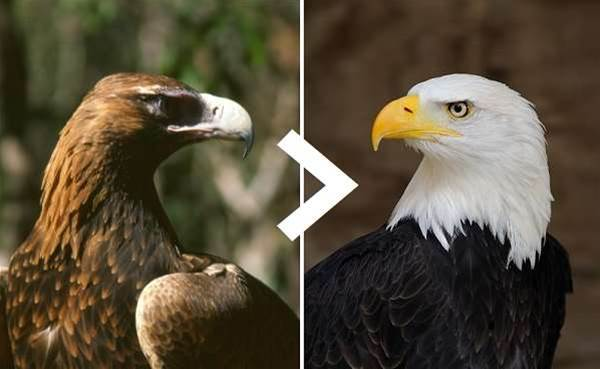 7 Reasons the Wedgie is Superior to the American Bald Eagle